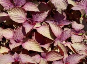 赤ジソの葉